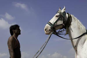 Inde, le cheval marwari