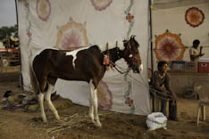 Inde - cheval Marwari - 11