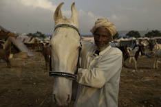 Inde - cheval Marwari - 12