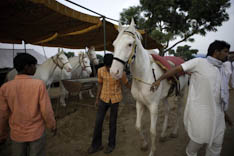 Inde - cheval Marwari - 15