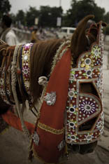 Inde - cheval Marwari - 40